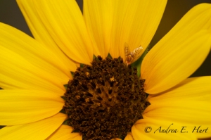 Yellow Sunflower: Flowering Plants Category.
