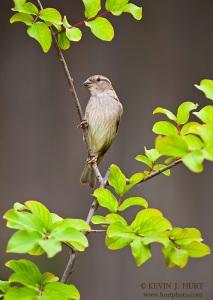 House Sparrow. Canon 1DsMkII | 500/4.5 | f5 | ISO 200