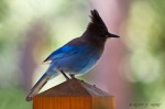 Stellar's Jay that visited the balcony of the lodge.
