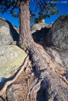 Roots. It's amazing how life finds a way. Crowded by the massive boulders, this tree would not be denied as it had dug deep and shot it's roots out finding the available soil nearby.