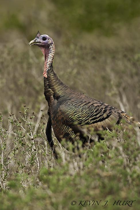 Rio Grande Wild Turkey.  Canon 1DsMkII | 500mm | f5.6 | ISO400