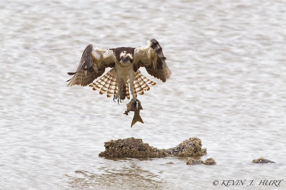 Osprey.  Canon 7D | 500mm | ISO640 | +1 Exposure Compensation