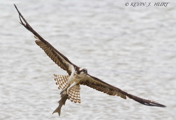 Osprey. Canon 7D | ISO640 | f6.3 | 1/1250 | +1 exposure compensation