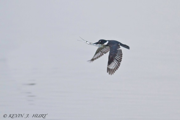 Belted Kingfisher. Canon 7D | 500mm | ISO 640 | +1Exposure Compensation