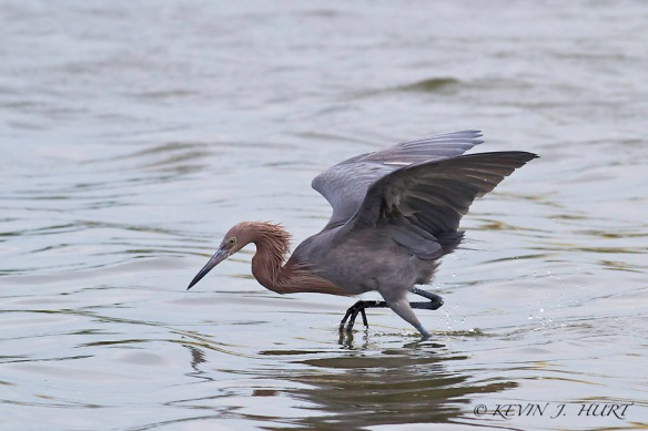 Reddish Egret.  Canon 7D | 500mm | ISO640 | +1 Exposure Compensation