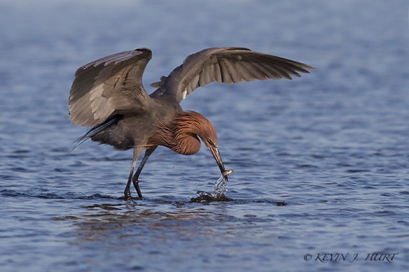 Reddish Egret. Canon 7D | 500mm | f7.1 | ISO 400