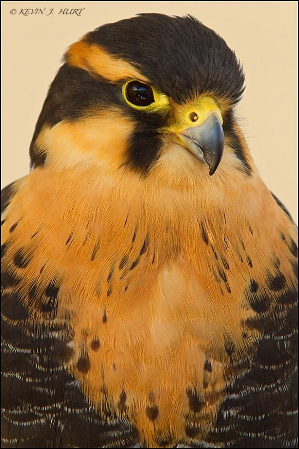 Aplomado Falcon. Canon 7D | 70-200/2.8 @ 200mm | 20mm Kenko extension tube