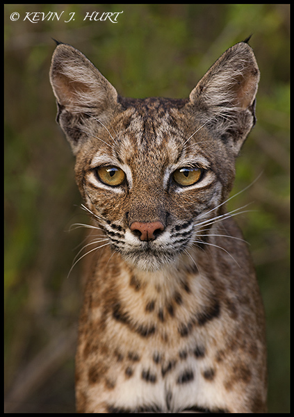 Bobcat. Campos Viejos Ranch, Starr County, Texas.