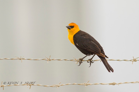 Yellow-Headed Blackbird. Canon 7D | 500/4.5mm
