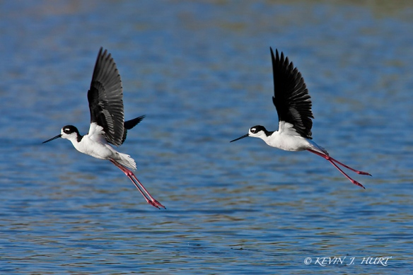 Black-necked Stilts. Canon 1D MkII | 500/4.5 | ISO 400