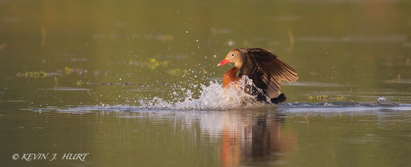 Black-bellied Whistling Duck.