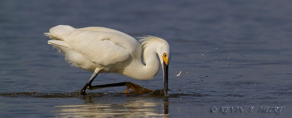Snowy Egret.  Canon 7D | 500/4.5mm | ISO 400