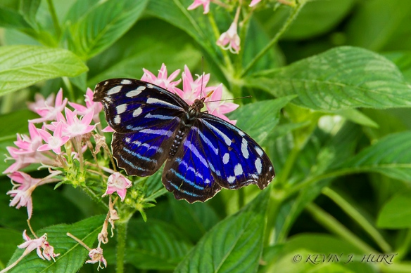 Mexican BlueWing. Canon 7D |ef-s 15-85 @ 85mm | ISO 400 | f/6.3 | 1/160sec | HandHeld