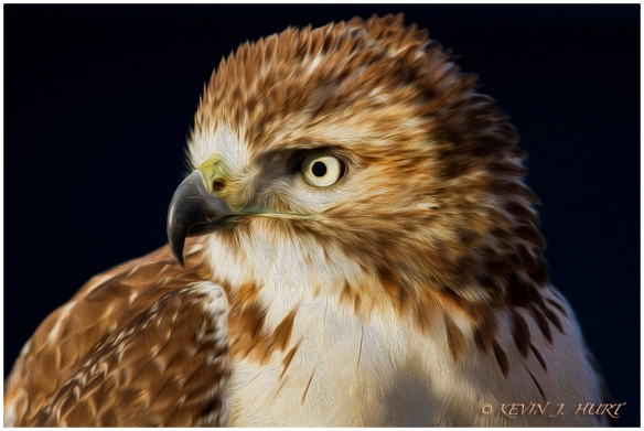 Red Tailed Hawk Portrait. Digitally rendered as an oil painting.
