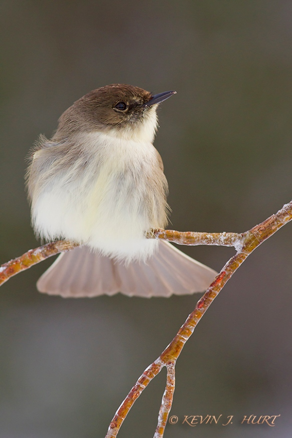 Eastern Phoebe.  Canon 7D | 500/4.5 | f7.1 |ISO 800