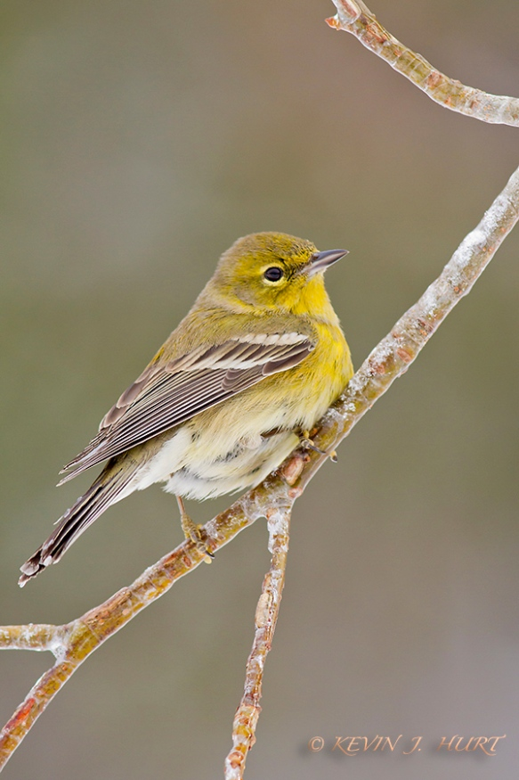 Pine Warbler.  Canon 7D | 500/4.5mm | f7.1 | ISO 800