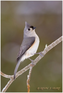 Tufted Titmouse. Canon 7D | 500/4.5mm |f7.1 | ISO 800