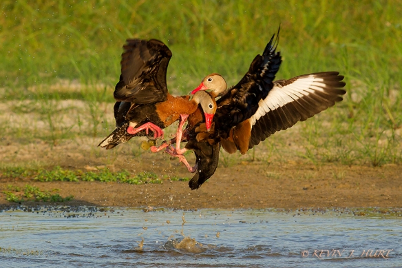 Black Bellied Whistling Ducks. Canon 7D | 500/4.5 | f7.1 |  ISO 400
