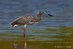 Tri-colored Heron.