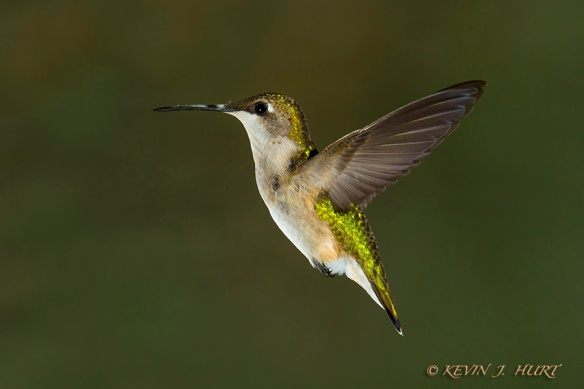 Ruby-throated Hummingbird. Canon 7D | 70-200/2.8 @ 200mm | ISO 320 | f13 |1/80