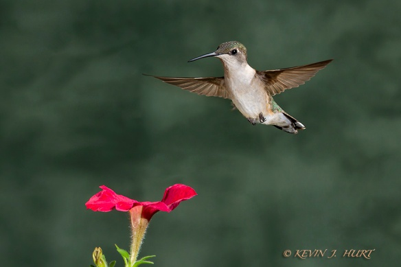 Ruby-throated Hummingbird. Canon 7D | 70-200/2.8 @ 200mm | ISO 400 | f14 | 1/160