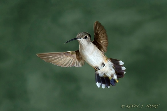 Ruby-throated Hummingbird. Canon 7D | ISO 400 | 70-200/2.8 @ 200mm | f14 | 1/160