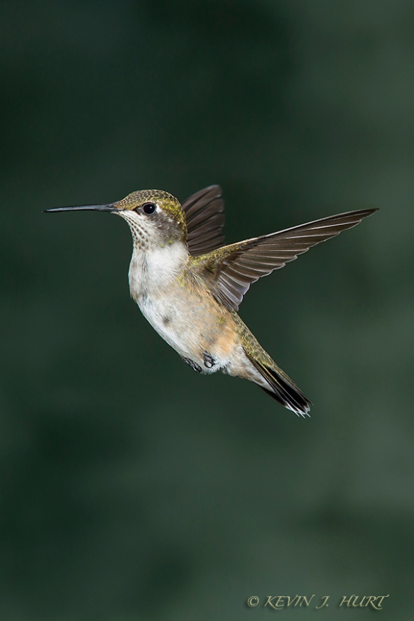 140921_Hummingbird__MG_1701_0005-20140921