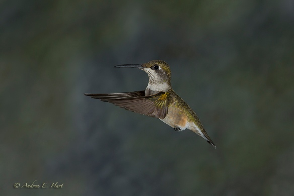 140921_Hummingbird__MG_1871_0110-20140921