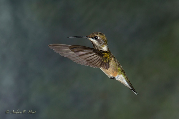 140921_Hummingbird__MG_1894_0129-20140921