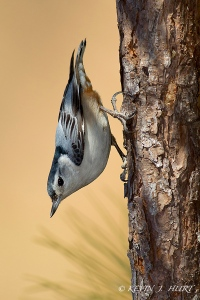 White-breasted Nuthatch. Canon 7D | 500/4.5 | Canon 580ex fill flash at -2 FEC