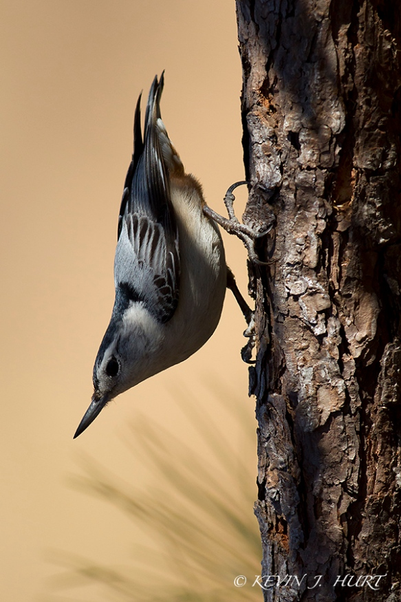 White-breasted Nuthatch. Canon 7D | 500/4.5| No Fill Flash.