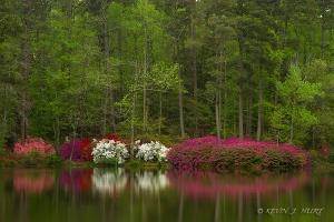 Azalea Blossoms.  Canon 7D | ef-s 15-85mm | ISO 100