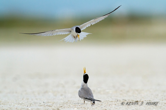 Least Tern. Canon 7D | 500/4.5mm | ISO 400