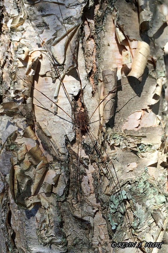 Daddy-Long-Legs On Birch Bark