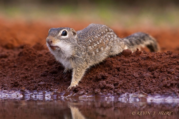 Mexican Ground Squirrel.  Canon 1DMkII | 500/4.5 | ISO 400