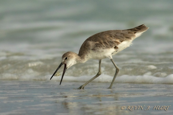 Willet. Canon 7DMkII | ef 500/4.5 + 1.4x | ISO 1250 | f 6.3 | 1/5000